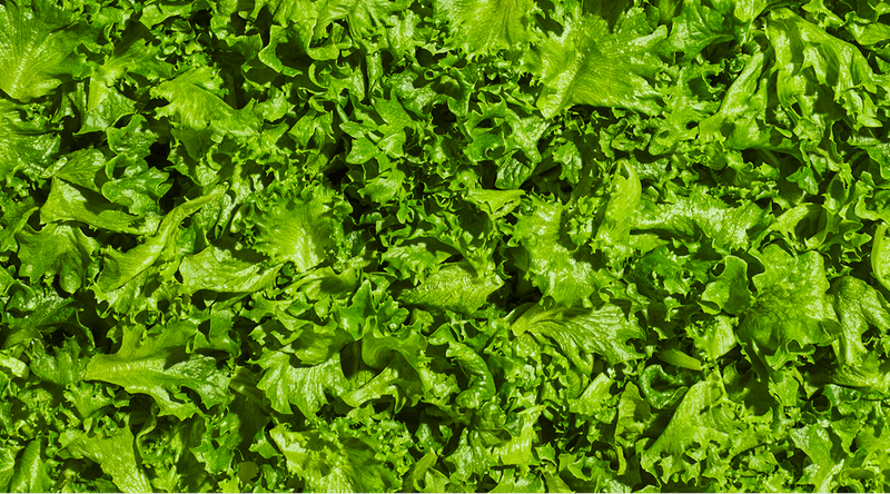 Background of Plenty Crispy Lettuce